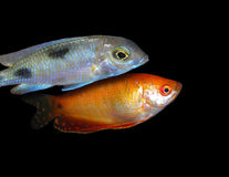 Lot of aquarium fishes from cichlidae family Stock Image