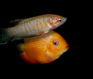 Lot of aquarium fishes from cichlidae family Royalty Free Stock Images