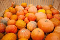 Lot autumn pumpkin scattered on grass Stock Image