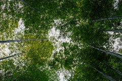 Lot of bamboo in forest. Bamboo forest in Japan - view from bottom to top Stock Images