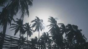 A lot of beautiful and tall palms stock footage