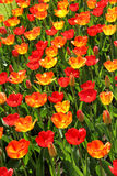 Lot of beautiful vivid tulips in the park Keukenhof Royalty Free Stock Photos