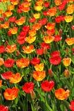 Lot of beautiful vivid tulips in the park Keukenhof Royalty Free Stock Photos
