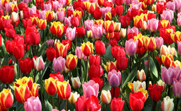 Lot of beautiful vivid tulips in the park Keukenhof. Holland Stock Images