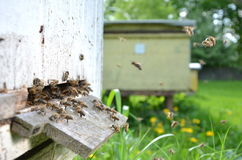 A lot of bees entering a beehive. In an apiary in the summer royalty free stock photos