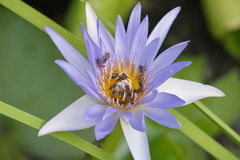 A lot of bees swarm lotus flower Stock Photo
