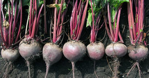 A lot of beet abreast. Horizontal photo royalty free stock photo