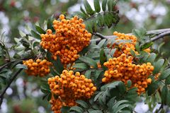 A lot of berries of yellow mountain ash Stock Image