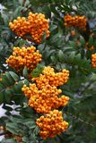 A lot of berries of yellow mountain ash Royalty Free Stock Photo