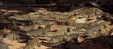 A lot big crocodiles in the water. Panoramic Stock Images