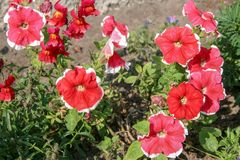 A lot of big red with white border flowers. Stems and leaves are green. There is a blurry brown earth. Selective focus royalty free stock images