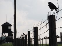 Ravens in Majdanek royalty free stock photography