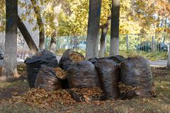 A lot of black garbage bags filled with fallen autumn leaves Stock Photo