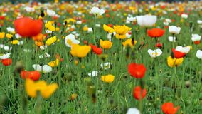 A lot of blooming corn poppy flowers Stock Photography