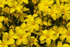 A lot of blooming yellow flowers of linum flavum in the garden Stock Image