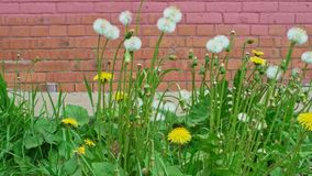 A lot of blowballs of dandelion in front of wall. Many blowballs of dandelion in front of pink brick wall stock video