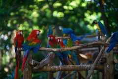 A lot of blue-and-yellow macaws and red aras sitting on the branch.  Royalty Free Stock Photography
