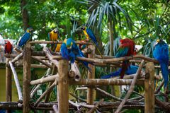 A lot of blue-and-yellow macaws and red aras sitting on the branches in the forest.  royalty free stock images