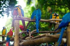 A lot of blue-and-yellow macaws and red aras sitting on the branches in the forest.  royalty free stock photo
