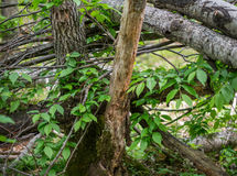 A lot of branches in the forest. A lot of branches in the forest Stock Photography