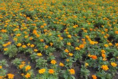 A lot of flowers of Tagetes patula. A lot of bright flowers of Tagetes patula stock photos