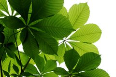 Bright green chestnut leaves on a white background stock photography