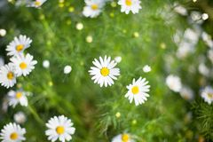 A lot of bright little daisies white flower on green grass blurred background on meadow on sunny day close up stock images