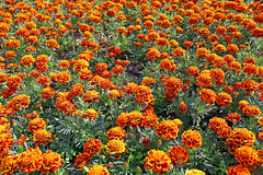 Lot of bright orange marigold Stock Photos