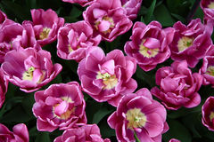 A lot of bright purple growing tulips. Top view. Royalty Free Stock Image