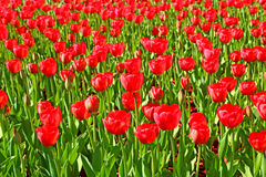 Lot of bright red tulips Royalty Free Stock Photography