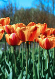 Lot of bright red and yellow tulips Stock Images