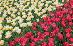 Lot of bright red and yellow tulips Stock Photos