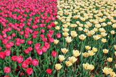 Lot of bright red and yellow tulips Royalty Free Stock Images
