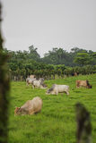 Lot of brown cow in green field. Band of home animals are in farm in front of the green forest Stock Photos