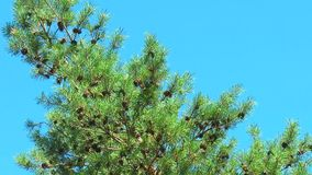 A lot of brown pine cones on a branch stock footage
