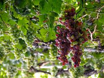 Lot of bunches of grapes hanging of vine. Lot of bunches of grapes hanging on vine in summer day Stock Photos
