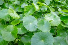A lot of centella asiatica which is a type of herbs. A lot of centella asiatica which is a type of herb Royalty Free Stock Image