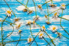 A lot of Chamomile Stock Image