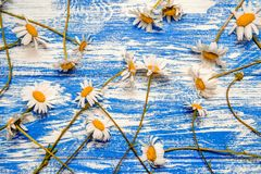 A lot of Chamomile Royalty Free Stock Photography