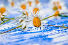 A lot of Chamomile Stock Photos