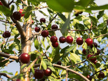 A lot of cherries on branches. View from below. Royalty Free Stock Photos