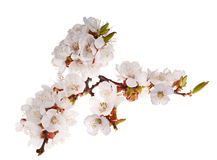Lot of cherry-tree flowers on branch Royalty Free Stock Photos