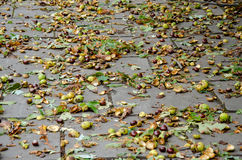 It is a lot of chestnut acorns on the earth after a strong wind. Royalty Free Stock Photography