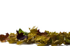 A lot of colored dry maple leaf. On a white background Stock Photos