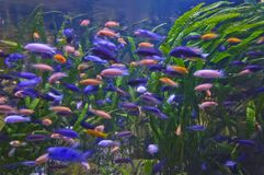 Lot of fishes. Lot of colorful fishes de-focused Royalty Free Stock Photos