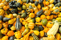Lot of colorful ornamental squash Stock Images