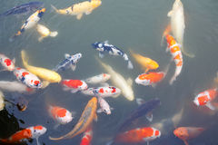 Lot of colorufl koi fishes in japanese garden Stock Images