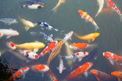 Lot of colorufl koi fishes in japanese garden Stock Image