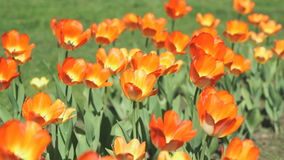 A lot of colourful of growing tulips outdoors. A lot of colourful bright of growing tulips outdoors. Close up stock video