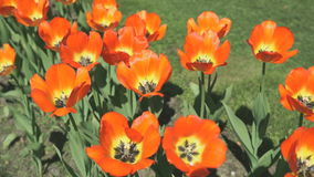 A lot of colourful of growing tulips outdoors. A lot of colourful bright of growing tulips outdoors. Close up stock video footage